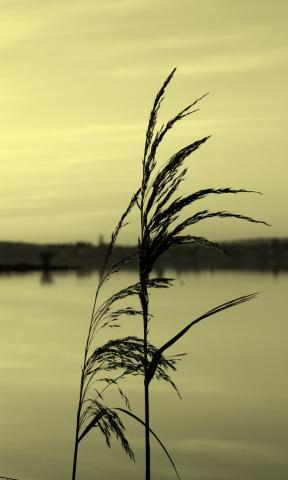 Roseau devant le lac